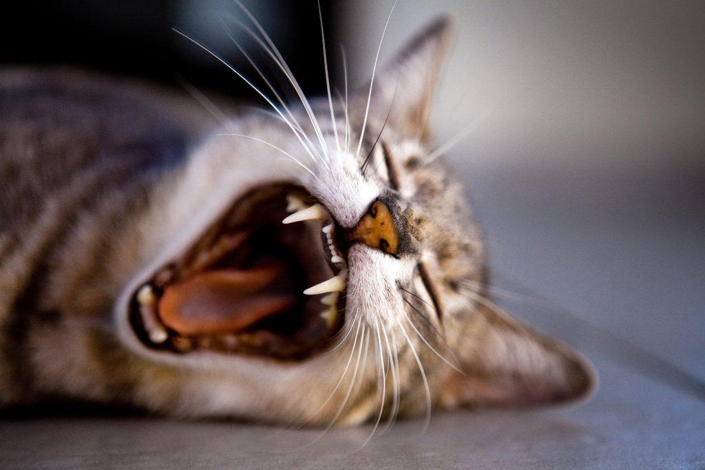 Gebitsproblemen bij de kat